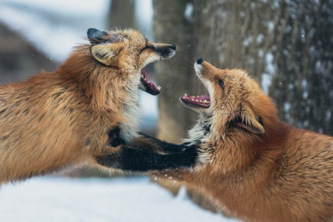 conflict_foxes_rid